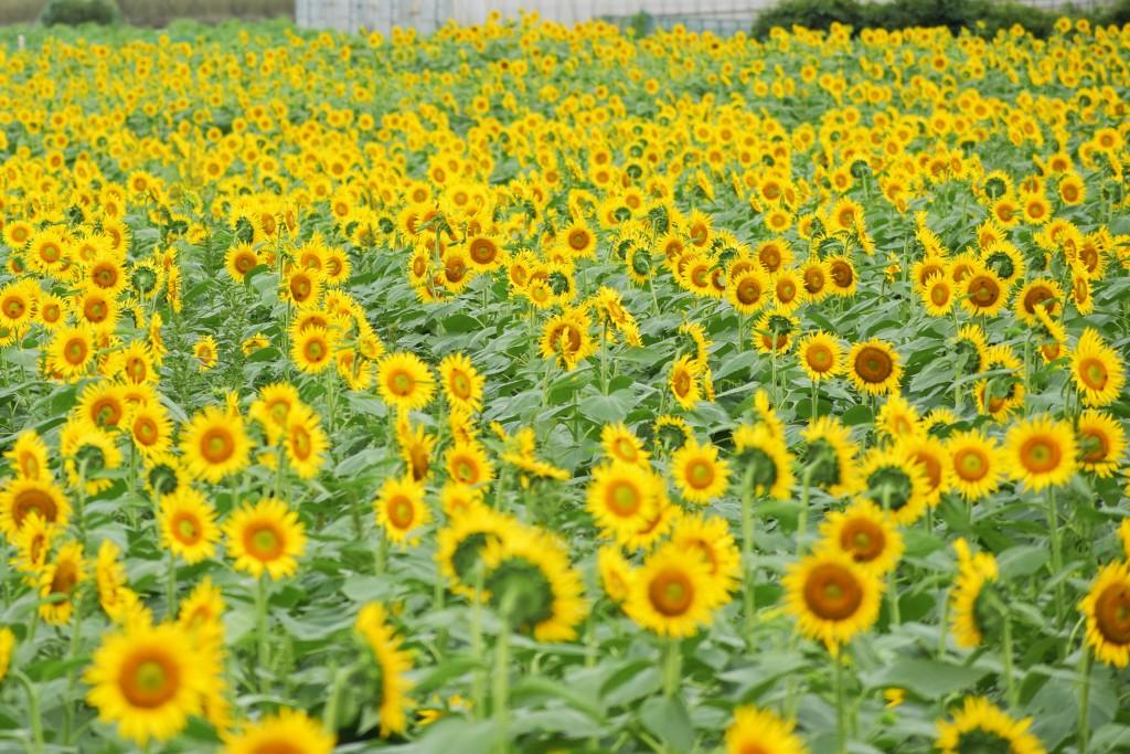 関東でおすすめのひまわり畑!「清瀬ひまわりフェスティバル」の写真や見頃をレポート